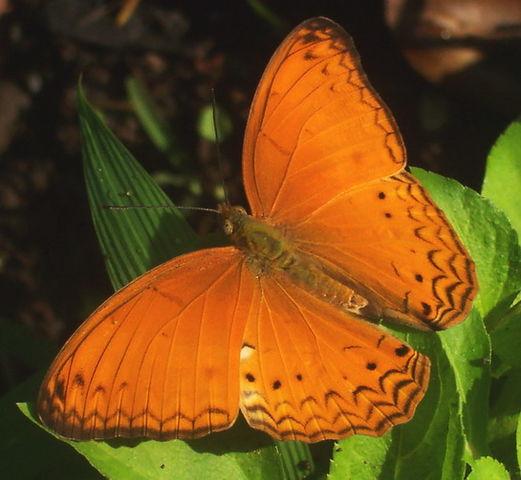 Phalantha phalantha from Situgede, Bogor, West Java, Indonesia
