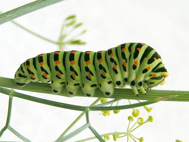 Caterpillar: Schwalbenschwanz (Raupe)