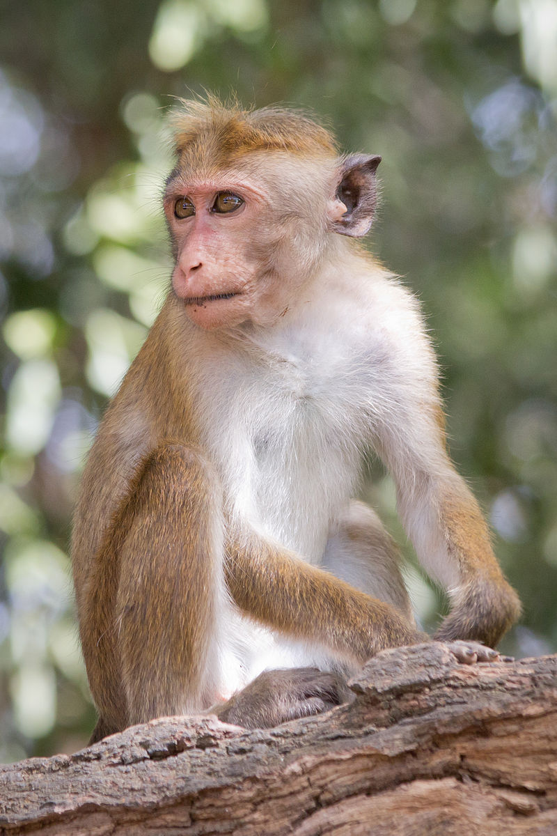 Macaca sinica. By Carlos Delgado - Own work, CC BY-SA 4.0