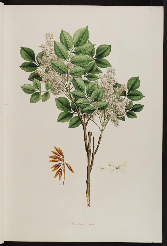Vol. 01[1], t.4: Fraxinus Ornus