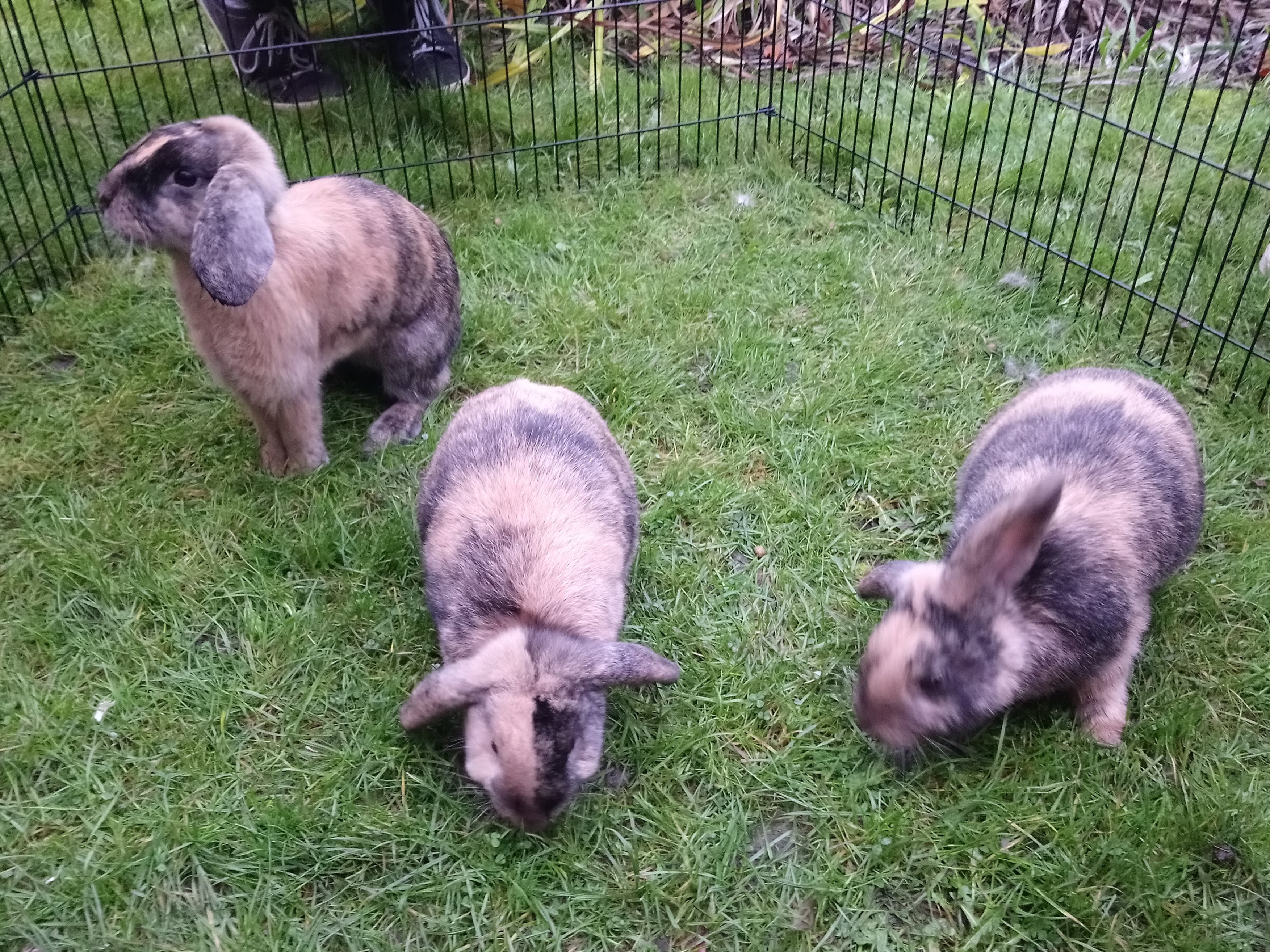 Three lop-eared black and brown rabbits grazing grass.