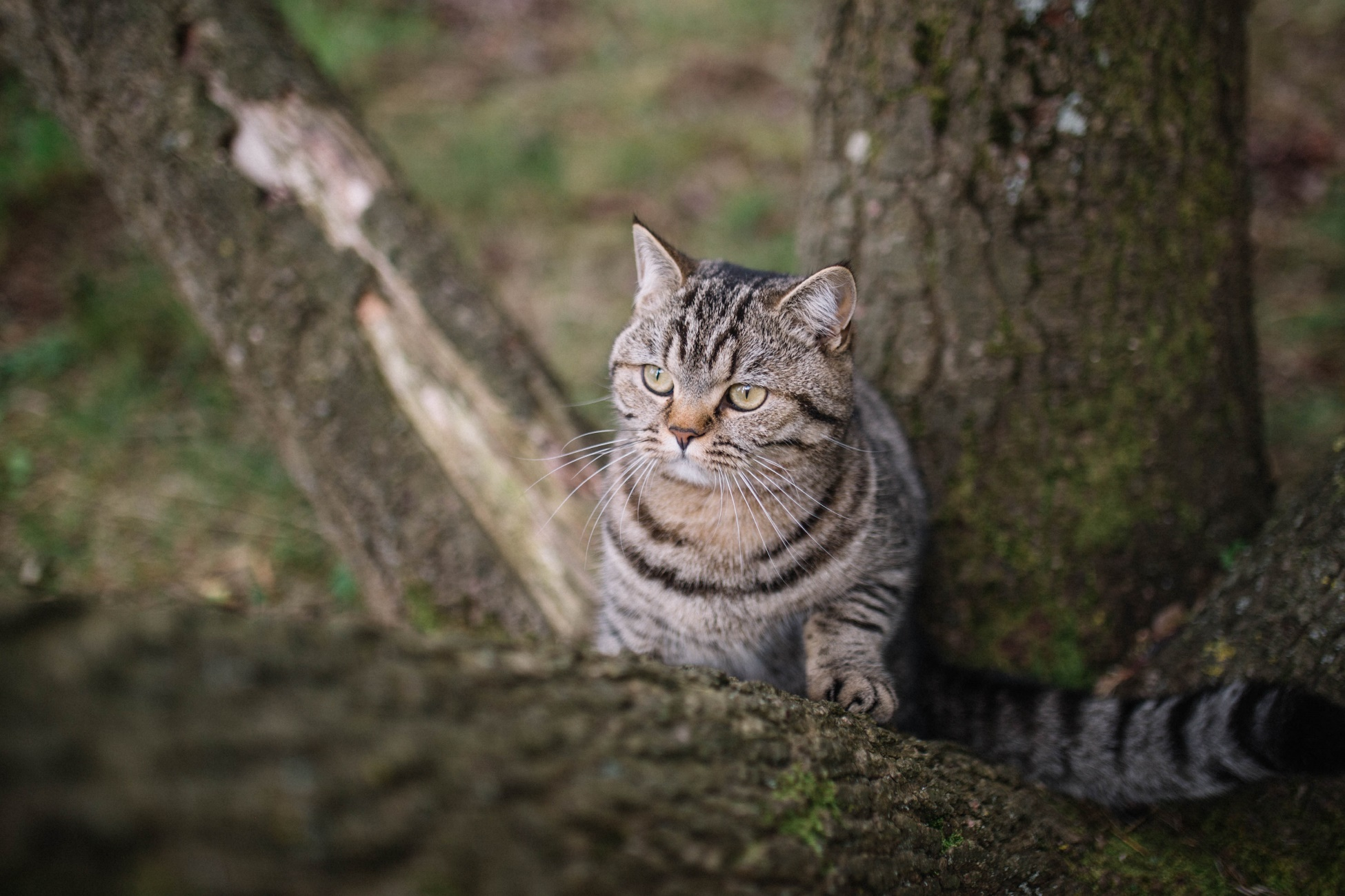 Flapjack the cat in a tree