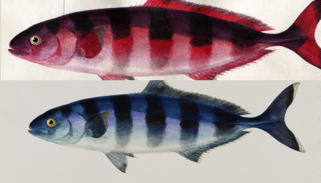 "Original image (below), and Hyperspectral false colour composite image (above) of Naucratus Ductor (MS. Sherard 239: Pisces, F43) showing areas of indigo (red) and copper blue (purple)"" © Bodleian Libraries."