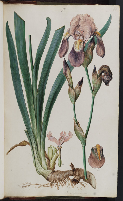 Ferdinand Bauer, Iris Germanicus, watercolour on paper