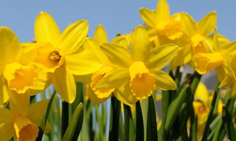 Garden-week-Daffodils-006