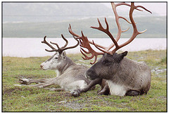 Image of reindeer from Frans's Photostream on Flickr